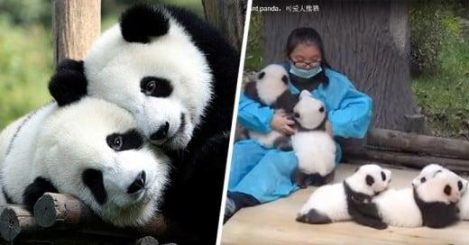 trabajo de abrazador de oso panda
