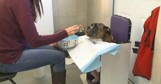 Perrito boxer que no puede comer por si solo