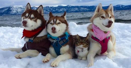 Huskies Se Hicieron Los Mejores Amigos De Este Gato Tras Salvarlo de Morir