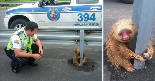 Policías de ecuador rescatan a perezoso