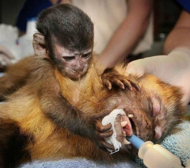 Mono Cappuccino junto a su madre enferma
