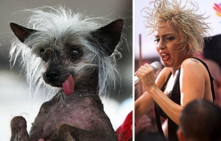 Perro en una pose y con el look parecido al de la estrella Lady Gaga