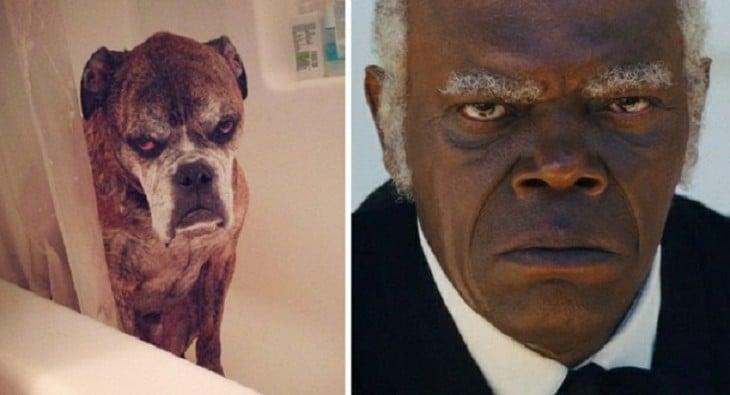 cara de un perro comparada de la de Samuel L. Jackson