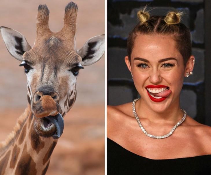 Jirafa con un look y muecas parecidas a las de Miley Cyrrus