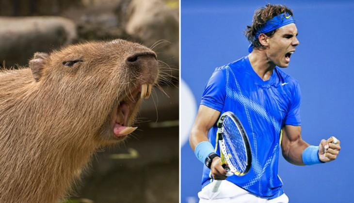 carpincho en una pose similar a la del tennista Rafael Nadal