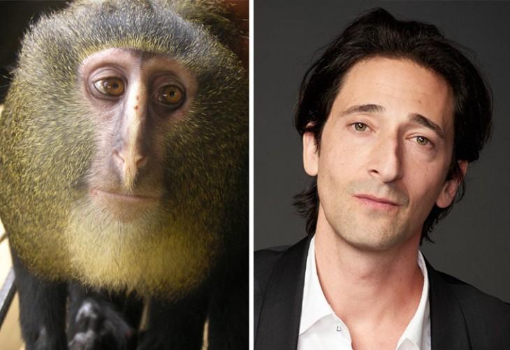 mono cercopithecus lomamiensis parecido al actor Adrien Brody