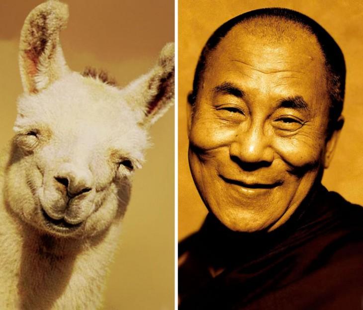 llama con una cara feliz parecida al Dalai Lama