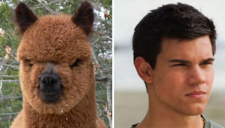 Taylor Lautner comparado con la cara de una alpaca