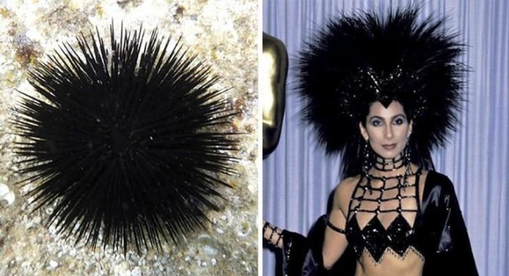 erizo de mar parecido al look de Cher