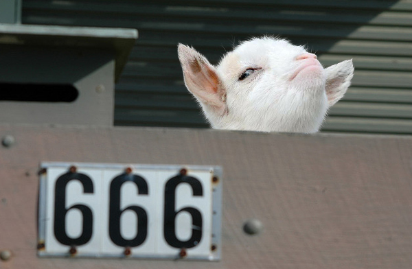 cara de la cabra presumida detrás de una prisión 666