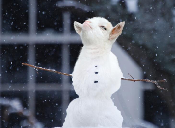 cara de cabra presumida sobre un cuerpo de un muñeco de nieve