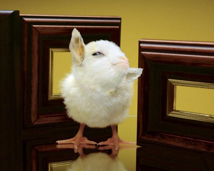 photoshop de un pollo con la cara de la cabra presumida