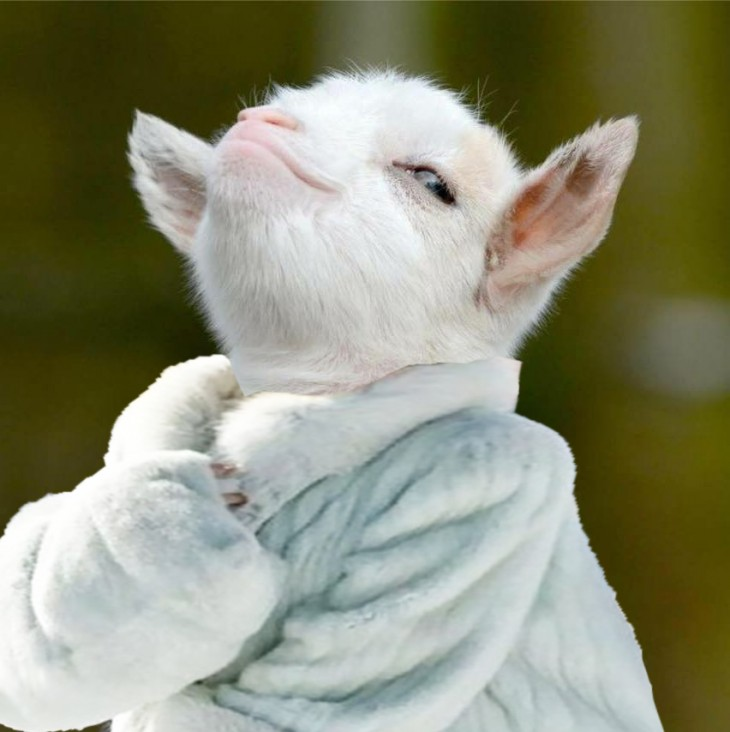 cara de la cabra presumida con un abrigo caro
