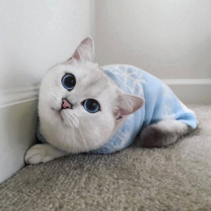 Corby, el gato con el delineado perfecto con un suéter azul sobre el suelo
