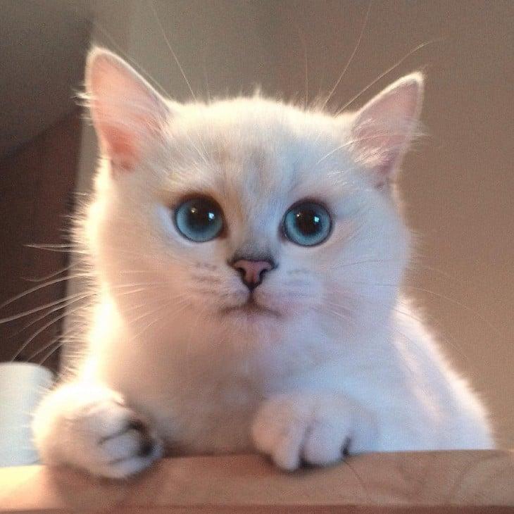 Cara tierna de Corby, el gato de ojos azules con el delineado perfecto