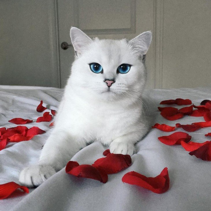 Corby, el gato con el delineado perfecto sobre una cama rodeado de pétalos de rosas rojas