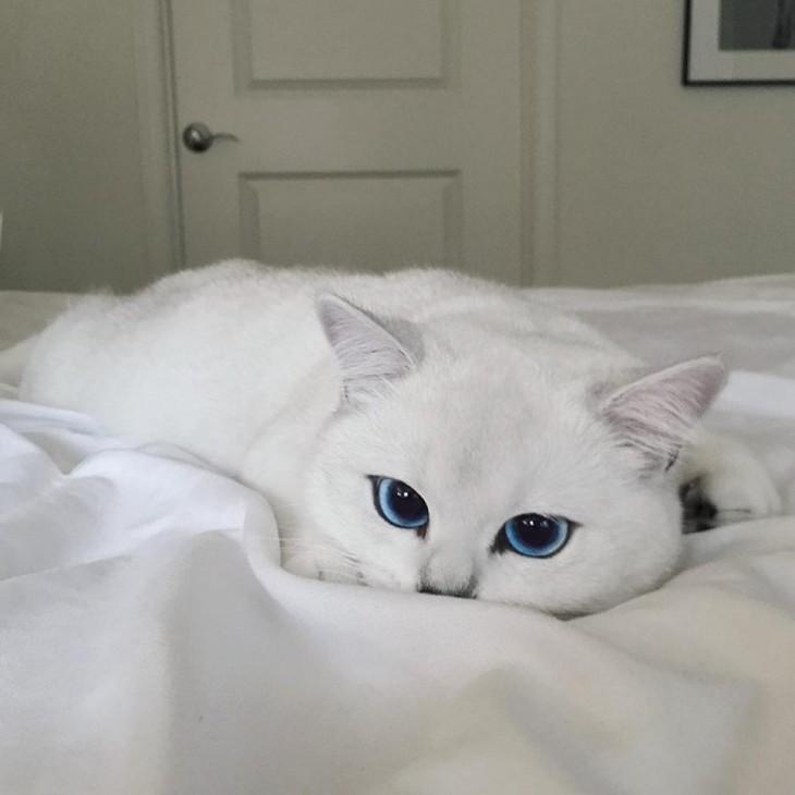 Corby, el gato con el delineado perfecto acostado sobre una cama con sábanas blancas