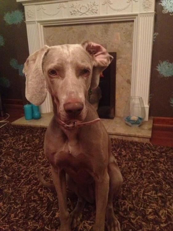 perro sentado en una sala con una de sus orejas dobladas
