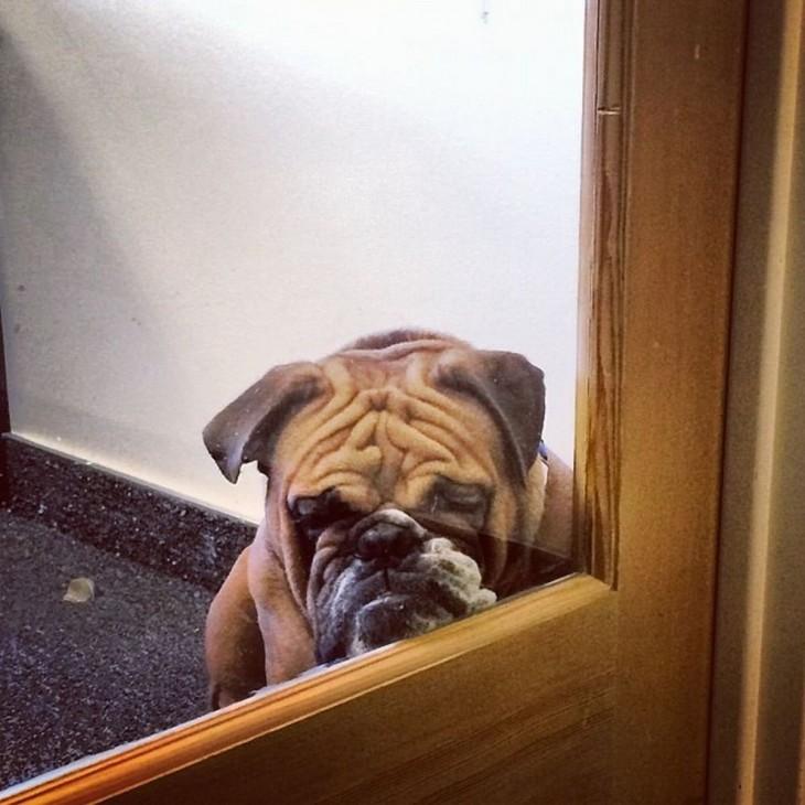 perro bulldog con cara triste detrás de una puerta