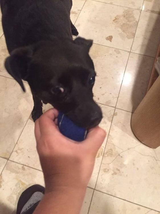 perro mordiendo la pelota de la mano de su dueño
