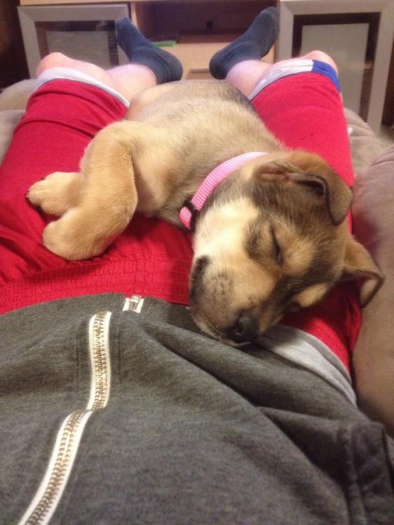 pequeño perrito dormido sobre las piernas de su amo