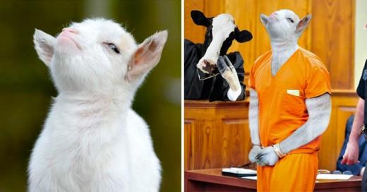 pequeña y adorable cabra con una expresión presumida la trollean en internet