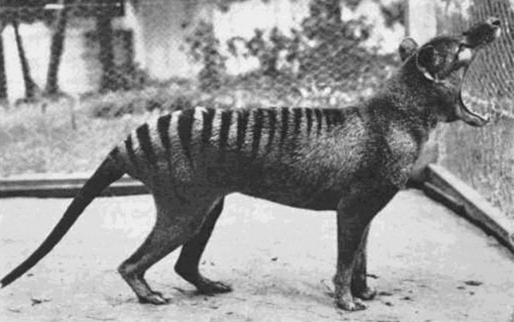 Ultima fotografíaque se le tomó al tigre de tasmania. ahora se encuentra extinto