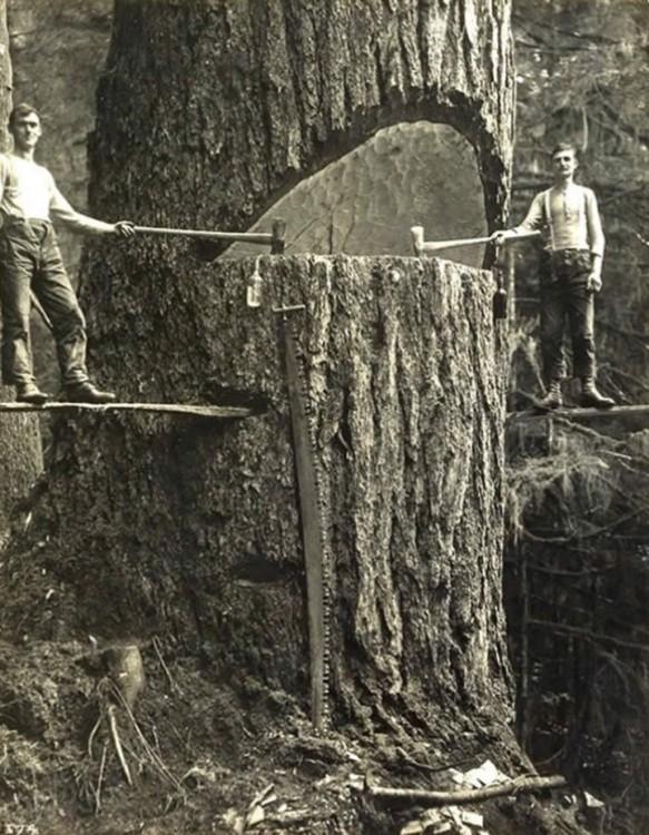 Leñadoresde Portland en un gran árbol