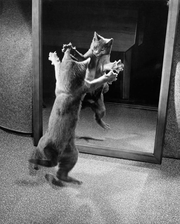 Un gato ataca su propio reflejo en el espejo con sus garras, 1964