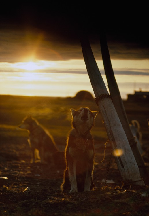A sled dog, tied to a whale rib, howls under the midnight sun: ""
