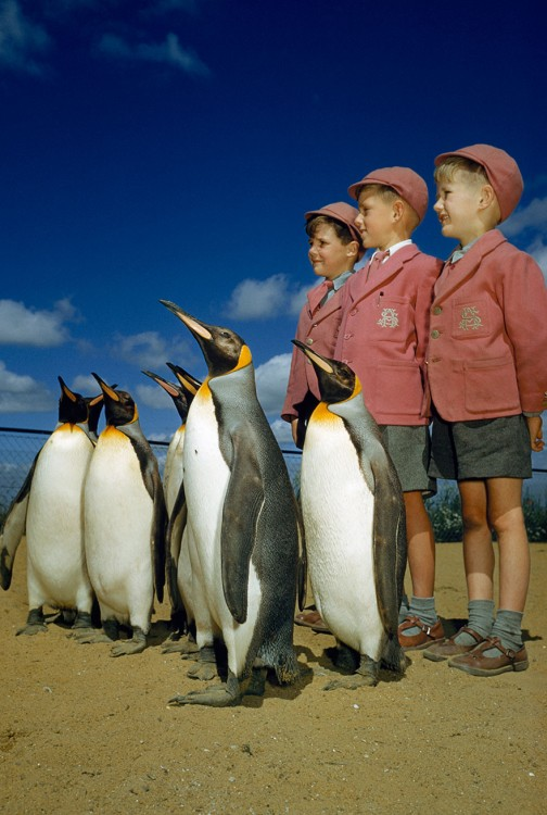 Boys dressed up in school uniforms pose with king penguins at the London Zoo, 1953.