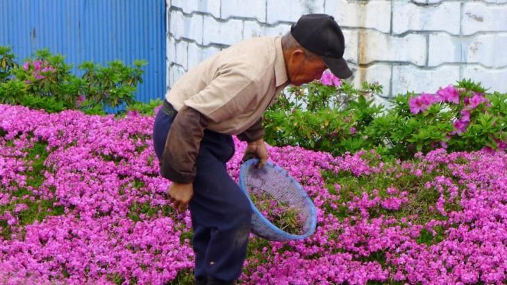 anciano japonés plantando flores del musgo en su jardín