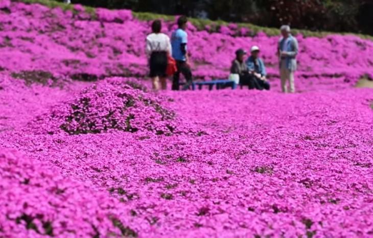 Personas en un jardín de flores shibazakura rosas