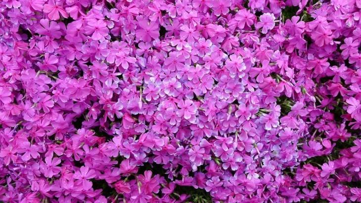 shibazakura rosas o flores del musgo