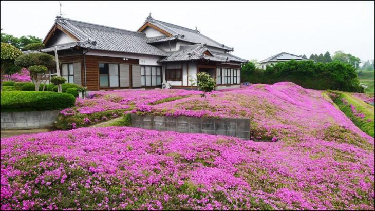Jardín de flores 'shibazakura rosas' en Japón