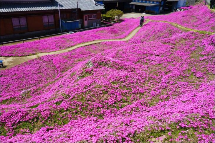 jardín de flores del musgo en color rosa en Japón