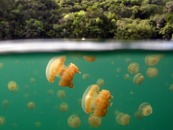 Lago de medusas en las islas de la roca en la república de Palau