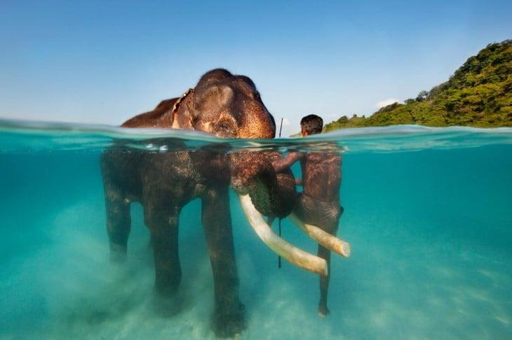 Hombre nadando con un elefante Rajan
