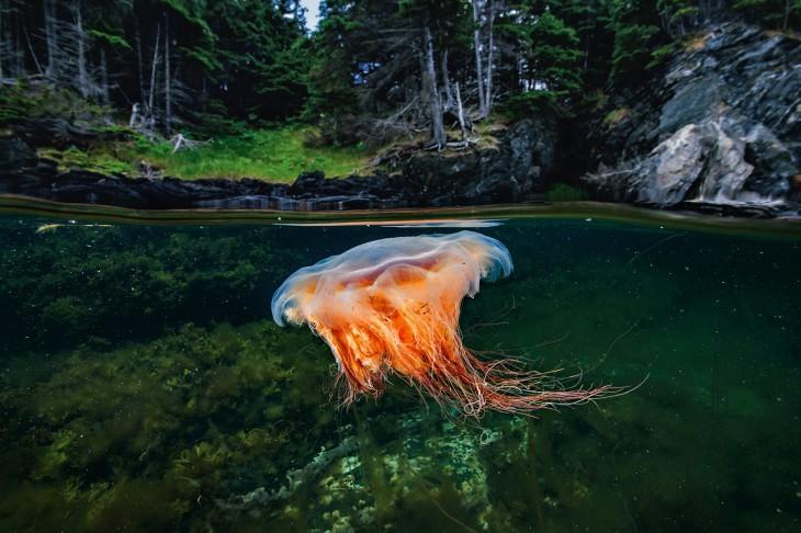 Medusa melena de león en Bonne Bay