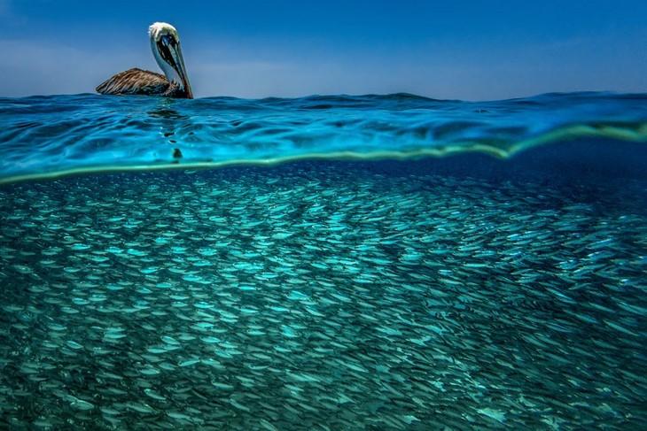 Fotografía de un Pelícano pardo del Caribe flotando sobre un sinfín de peces