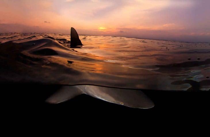 Fotografía de un tiburón que muestra su aleta fuera de la superficie