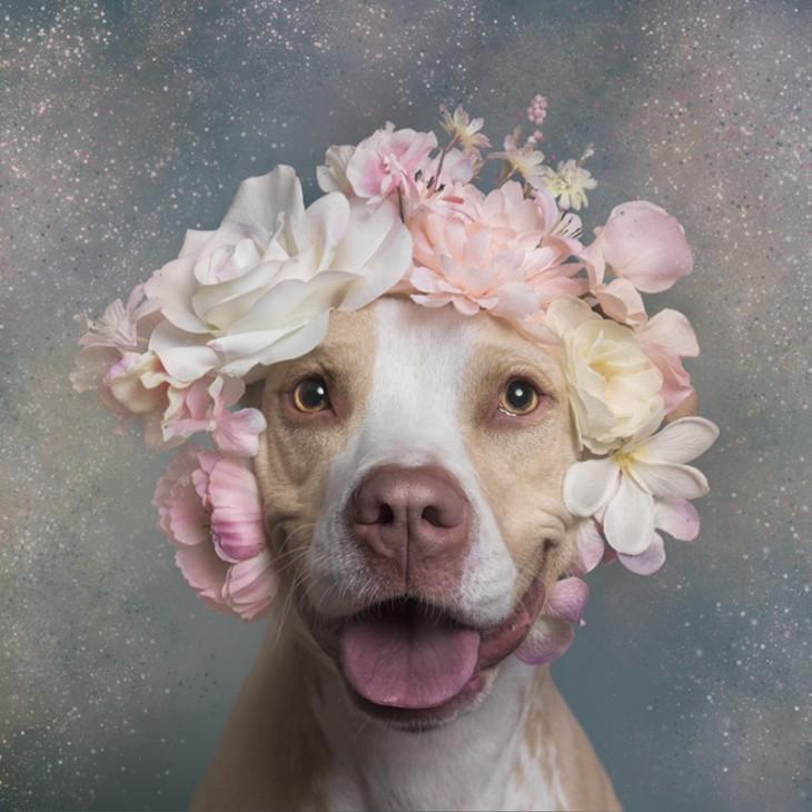 PitbullFlowerPower hembra con corona de flores rosas y blancas