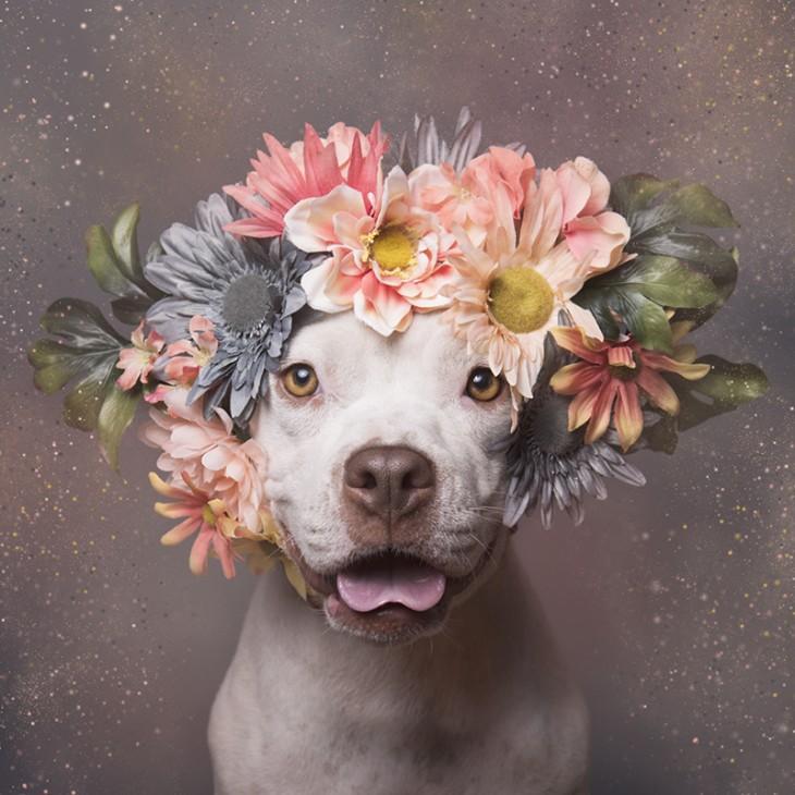 PitbullFlowerPower Hembra con corona de flores rosas, verdes y grises