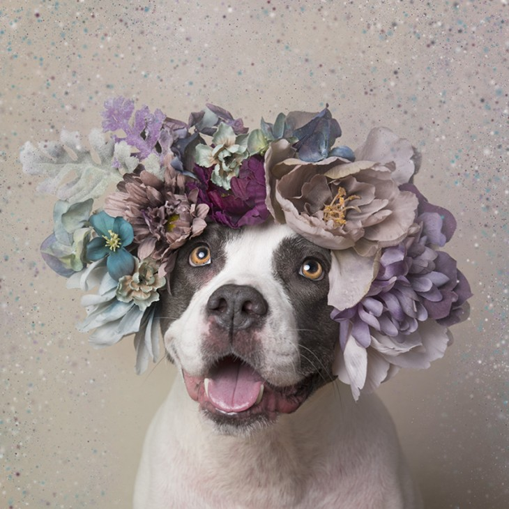 PitbullFlowerPower con su corona alegre ante la foto