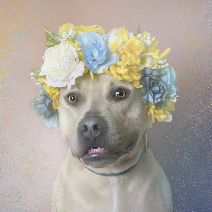 PitbullFlowerPower perro beige con flores azules, amarillas y beige