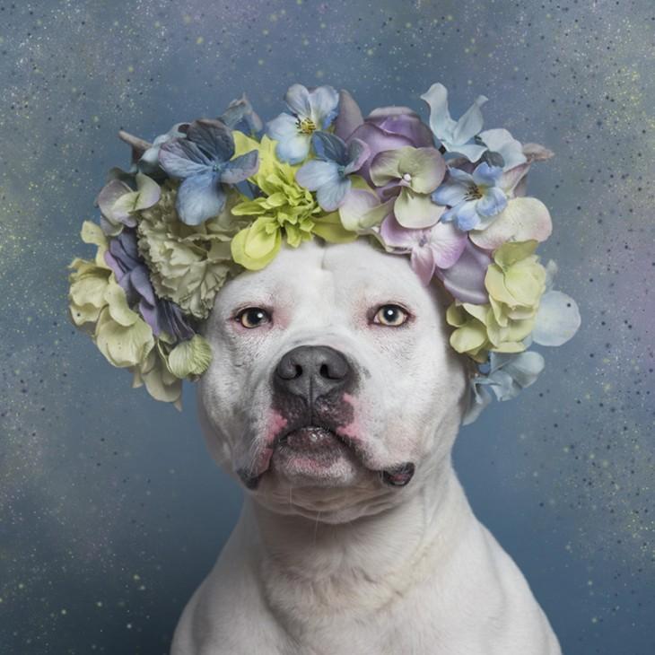 PitbullFlowerPower perro blanco con flores en colores pastel sobre su cabeza
