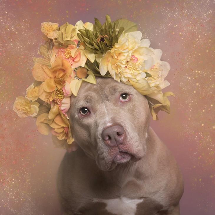 PitbullFlowerPower perro café claro con flores amarillas y verdes en su cabeza