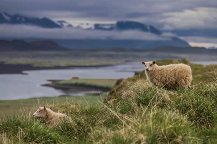 Fotografía de las ovejas salvajes fotografiando en Islandia