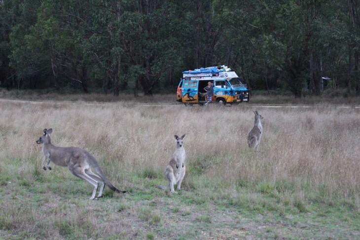 Canguros en Australia y una furgoneta en el fondo
