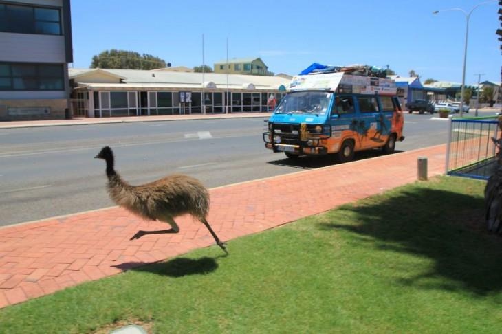 emu salvaje pasando la calle frente a una furgoneta que va en la calle